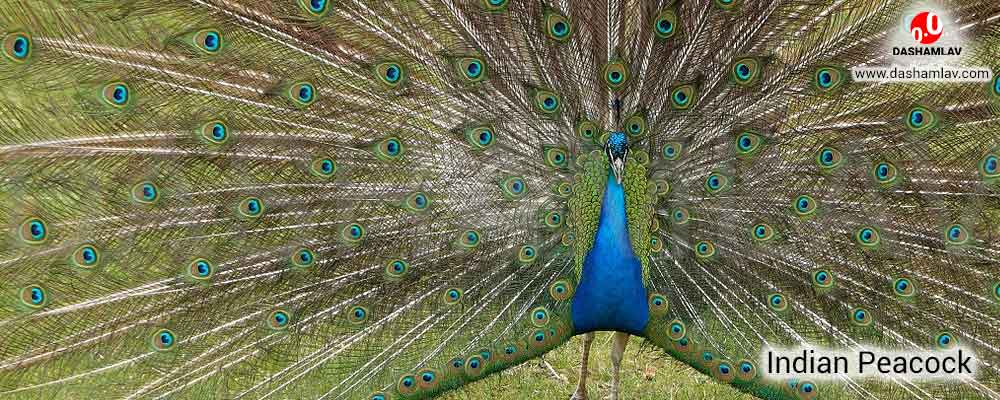 Peacock: National Bird of India. A National Symbol of India.